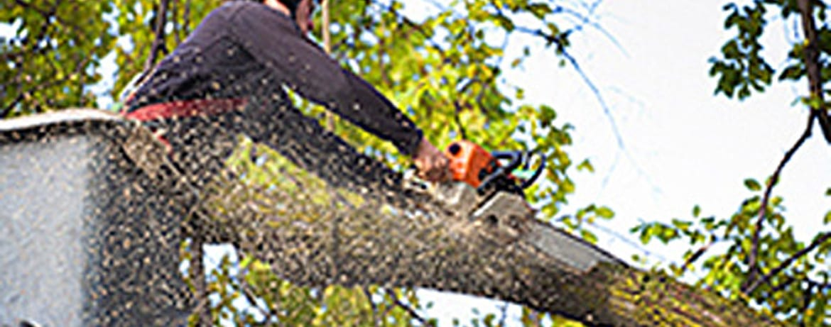 Arborist Trimming Tree Branches