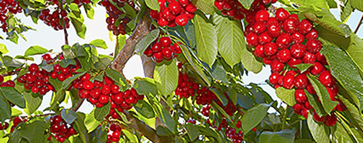 how to plant and care for cherry trees