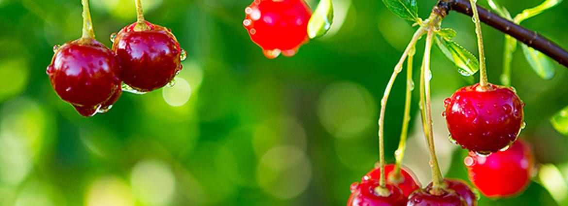 Facts About Growing And Caring For Cherry Trees Dreamworks